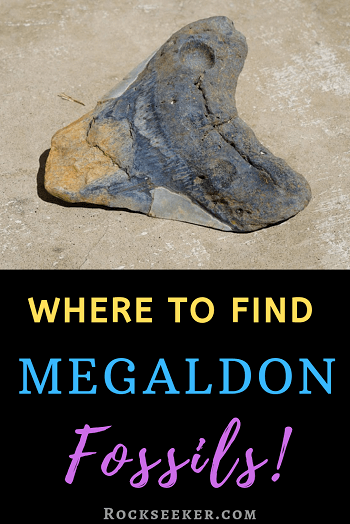 megalodon teeth fossil