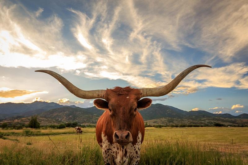 long horn bull in texas