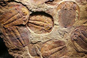 trilobite fossils