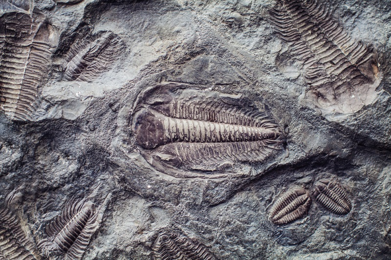 where to find trilobite fossils in utah