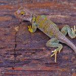 lizard on petrified wood in arizona