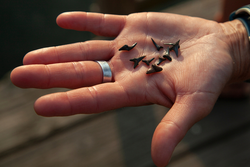 beaches for finding shark teeth in south carolina