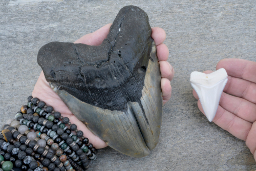 where to find megalodon teeth in south carolina