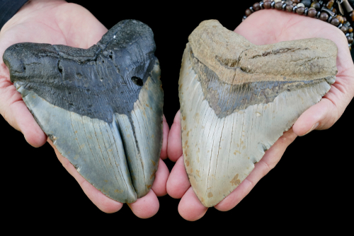looking for megalodon teeth in south carolina