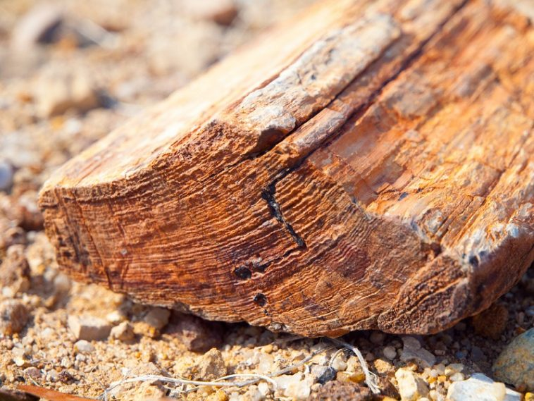where to find petrified wood in texas