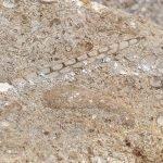 gastropod fossil found in waco texas
